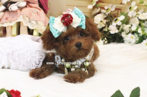 pocket teacup poodle 03