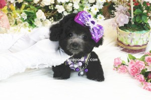super tiny teacup poodle 02