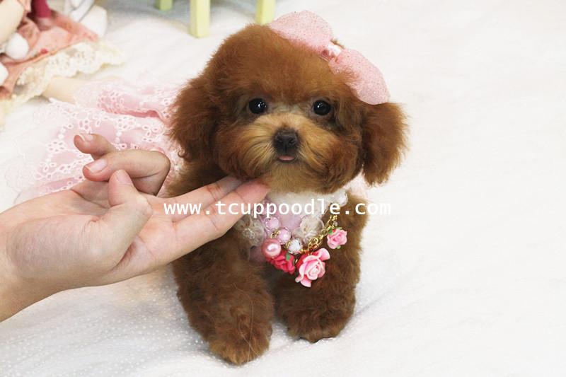 chihuahua Teacups as well Dog accessories additionally 2 Mama Cat Adopts Newborn Chihuahua Puppies also mustardseeddoodles furthermore 7C 7Cparti Pomeranian Puppies smalldogss   7Cimages 7Cpomeranian Los Angeles 3. on toy dogs for adoption florida